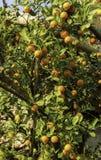 Tangerine tree Stock Photo