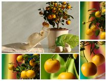 Tangerine tree with hat Stock Image