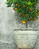 Tangerine Tree In Old Clay Pot Stock Image