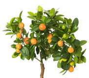 Tangerine tree isolated on the white background Royalty Free Stock Image