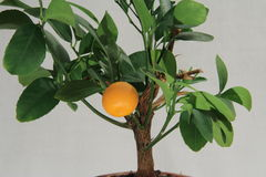 Tangerine tree, mandarin fruit Stock Photography