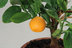 Tangerine tree, mandarin fruit Royalty Free Stock Photo