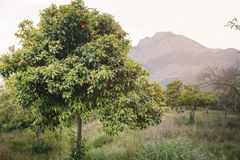 Tangerine tree mountains in the background Royalty Free Stock Images