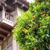 Tangerine tree Royalty Free Stock Photos