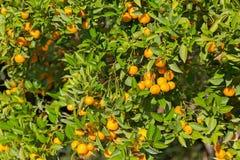 Tangerine tree and orange colored citrus fruit in the garden wit Stock Photo