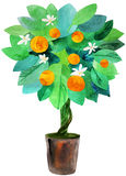 Tangerine tree in a pot. Water color painting royalty free illustration