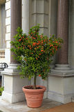 Tangerine tree in the pot, Cote d'Azur, France Stock Images