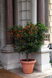 Tangerine tree in the pot Nice, Cote d'Azur, France Royalty Free Stock Photography