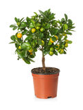 Tangerine tree in the pot on the white background Royalty Free Stock Photo