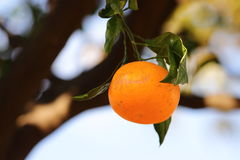 Tangerine on the tree Royalty Free Stock Images