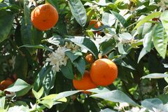Tangerine tree with ripe fruits and flowers close-up Stock Images