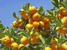 Tangerine tree. royalty free stock images