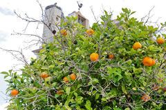 Tangerine tree in town Faro Stock Photography