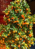 Tangerine Tree Vietnam. Chinese New Year Traditions in Vietnam royalty free stock image