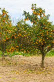 Tangerine tree in winter, Vale dos Vinhedos valley. Bento Goncalves, Rio Grande do Sul, Brazil Stock Images