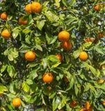 Tangerine trees Royalty Free Stock Photos