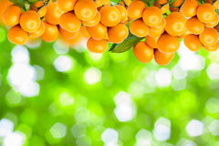 tangerine trees Stock Photography