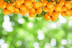 Tangerine trees Stock Photos
