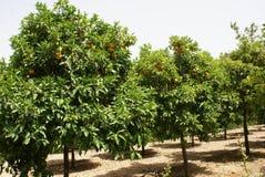 Tangerine trees. Mediterranean tropical land Stock Photos