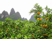 Tangerine trees in the mountains Stock Photo