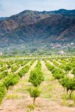 Tangerine trees orchard, Sicily Stock Image