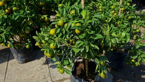 Tangerine Trees in Pots on Street Market on Sunny Morning. Sunlit green tangerine trees with yellow ripe fruits in pots on TET street market on summer morning stock footage
