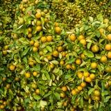 Tangerine trees Stock Photo