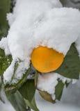 Tangerine unter Schnee Lizenzfreies Stockbild