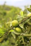 Tangerine verde Fotos de Stock