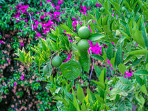 Tangerine verde Fotografia de Stock