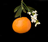 Tangerine With Flowers Stock Photos