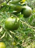 Tangerine-Zitrusfrucht reticulata lizenzfreies stockbild