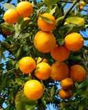 Tangerineanlage Stockbild