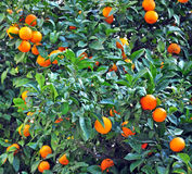 Tangerinebaum Stockfotos