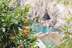 Tangerinebaum auf der Küste von Ligurien, Italien Stockbild