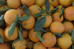 Tangerinen gerade von einem Baum Mit Broschüren Stockbilder
