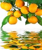 tangerines δέντρο Στοκ φωτογραφία με δικαίωμα ελεύθερης χρήσης