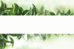 tangerines κήπος στο πράσινο backround με το φως του ήλιου Φύλλα κινεζικής γλώσσας με τη Λευκή Βίβλο ελεύθερη απεικόνιση δικαιώματος