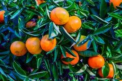 Tangerines και πορτοκάλια, έτοιμα να συγκομιστούν Στοκ εικόνες με δικαίωμα ελεύθερης χρήσης