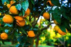Tangerines κρεμούν σε ένα δέντρο και είναι σχεδόν ώριμα Ήδη κιτρινίζει και γλυκό στοκ εικόνες