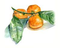 Tangerines με τα φύλλα Σκίτσο Watercolor Απομονώστε στην άσπρη ανασκόπηση Στοκ Εικόνες