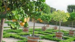 Πράσινα tangerines στο δέντρο Ώριμα και unripe εσπεριδοειδή σε ένα ενιαίο δέντρο σε ένα άλσος εσπεριδοειδών Σε αργή κίνηση κινημα απόθεμα βίντεο