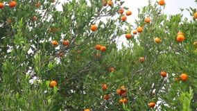 Tangerines в дереве акции видеоматериалы