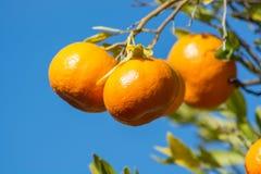 Tangerines или мандарины на ветви дерева Стоковая Фотография RF