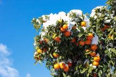 Tangerines на ветвях дерева покрытых со снегом Афина, Грецией, 8-ое января 2019 стоковая фотография rf