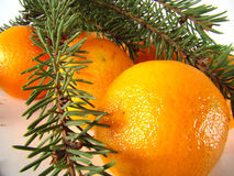 Tangerines. Under a branch of pine over light background Stock Photos