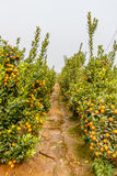 Αυξανόμενα tangerines Στοκ Φωτογραφίες
