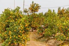 Αυξανόμενα tangerines Στοκ εικόνες με δικαίωμα ελεύθερης χρήσης