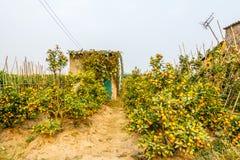 Αυξανόμενα tangerines Στοκ φωτογραφία με δικαίωμα ελεύθερης χρήσης