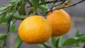 tangerines акции видеоматериалы